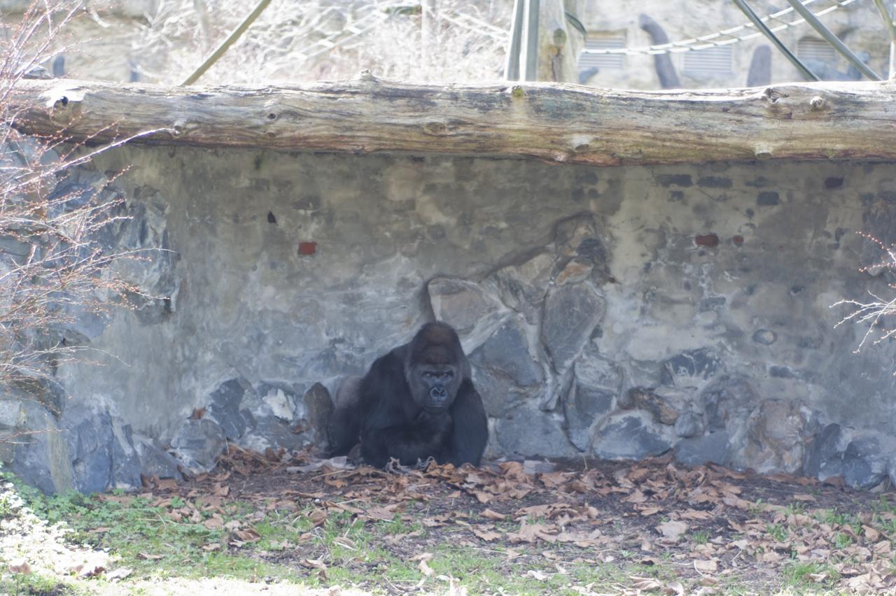 goryle opole